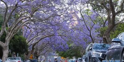 在悉尼邂逅紫色浪漫