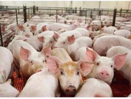 中国非洲猪瘟病毒攻关取得进展 为疫苗开发创造条件
