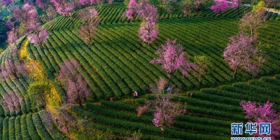 无量山茶园泛绿樱花似霞 千岛湖面上的茶园如梦似幻