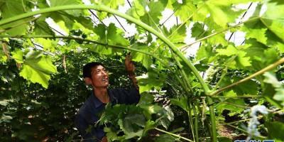陕西安塞改善设施农业促增收