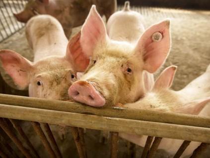 美國专家福奇曝:新型豬流感有两大可怕流行病毒影子