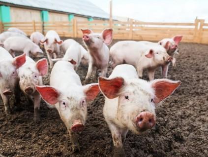 世卫组织专家:最新研究所指猪流感病毒并非新病毒