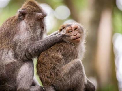 猕猴染新冠肺炎28天内产生抗体 北京研究:短期内不会再次染疫