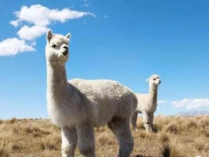 法国研究员正试用骆驼科动物开发更准确新冠检测