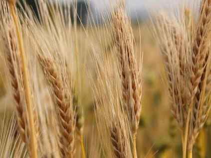 澳洲大麦出口中国遇阻 阿根廷趁势填补市场空白