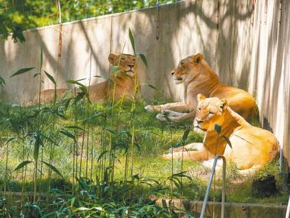 美国华盛顿国家动物园频染新冠 猫狗老虎最多